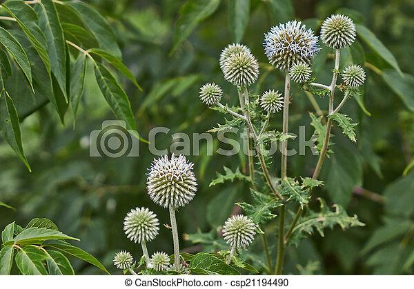 Gray flowers Echinops sphaerocephalus . - csp21194490