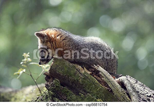 Gray Fox on a tree - csp56810754