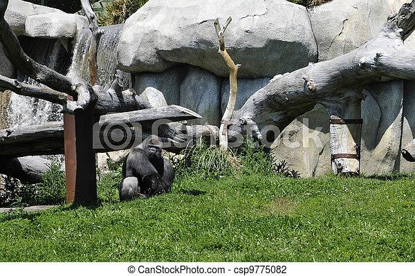 Gray Gorilla in a Zoo Enclosure - csp9775082
