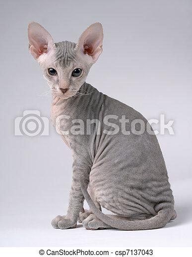 Gray Peterbald cat, Oriental Shorthair - csp7137043