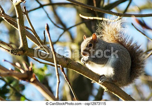 Gray Squirrel - csp12973115