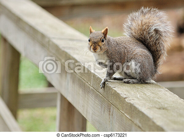 Gray Squirrel - csp6173221