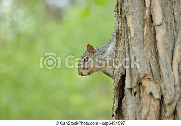Gray Squirrel - csp6434597