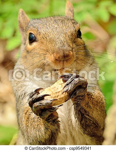 Gray Squirrel - csp9549341