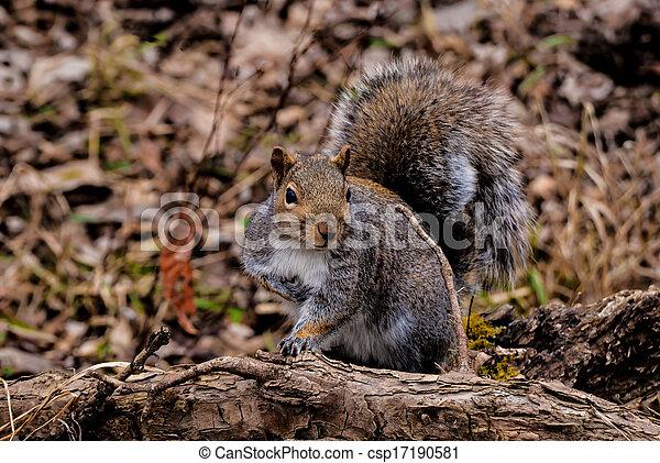 Gray Squirrel - csp17190581