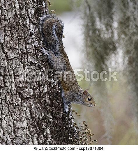 Gray Squirrel - csp17871384