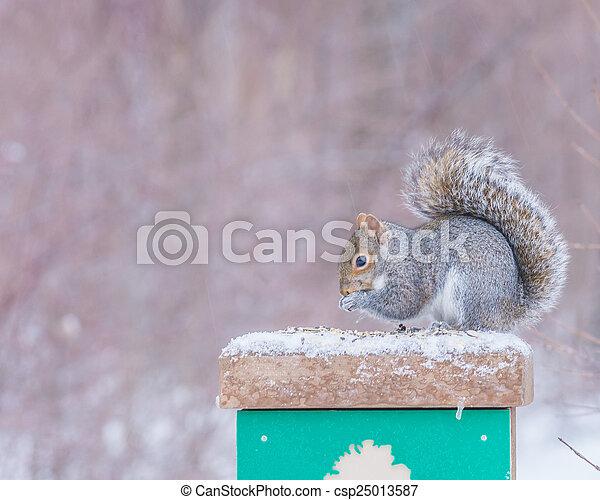 Gray Squirrel - csp25013587