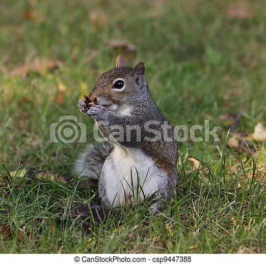 Gray Squirrel - csp9447388