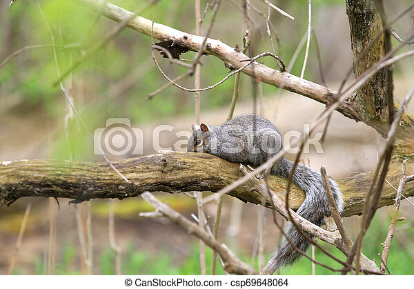 gray squirrel - csp69648064