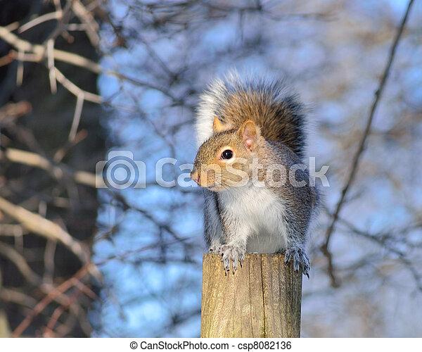 Gray Squirrel - csp8082136