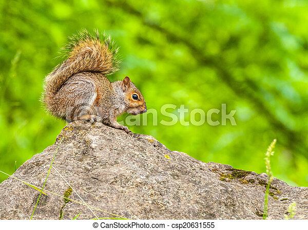 Gray Squirrel - csp20631555