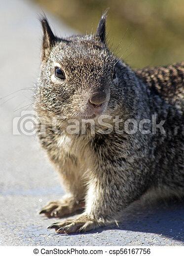 Gray squirrel - csp56167756