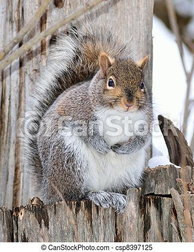 Gray Squirrel - csp8397125