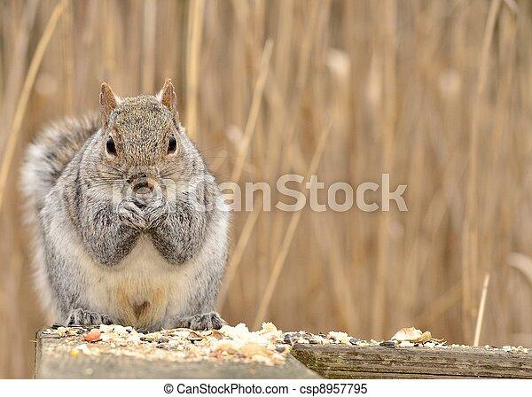 Gray Squirrel - csp8957795