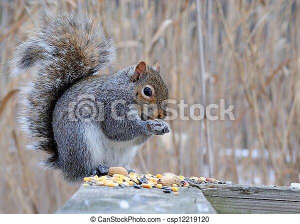 Gray Squirrel - csp12219120