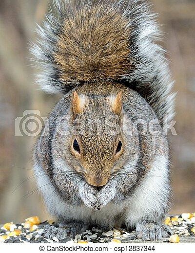 Gray Squirrel - csp12837344