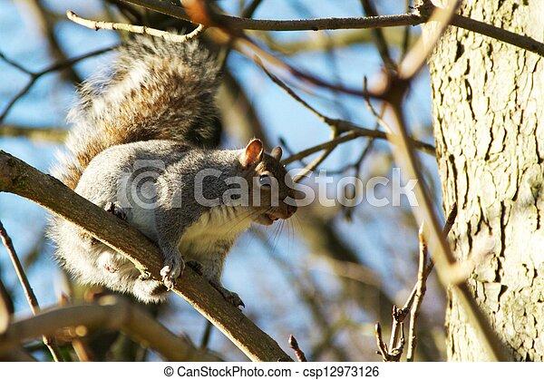 Gray Squirrel - csp12973126