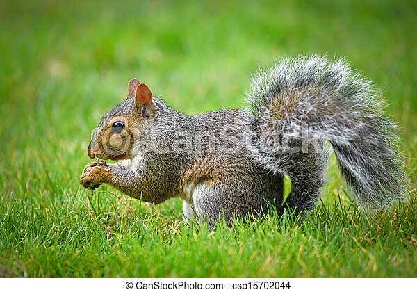 gray squirrel - csp15702044