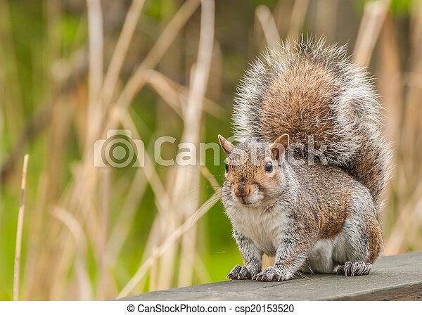 Gray Squirrel - csp20153520