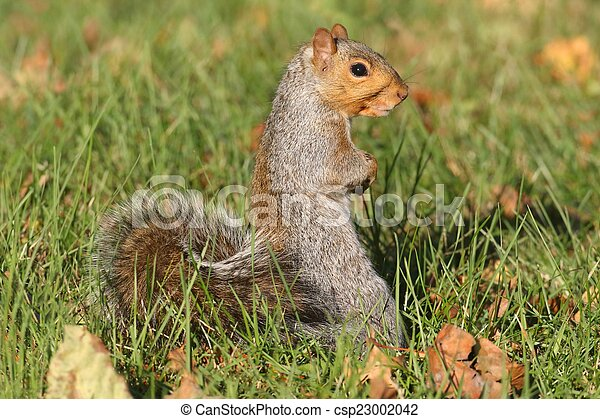 Gray Squirrel - csp23002042