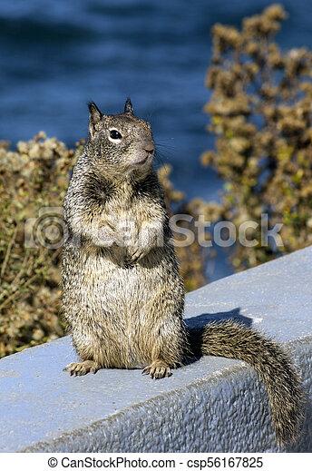 Gray squirrel - csp56167825