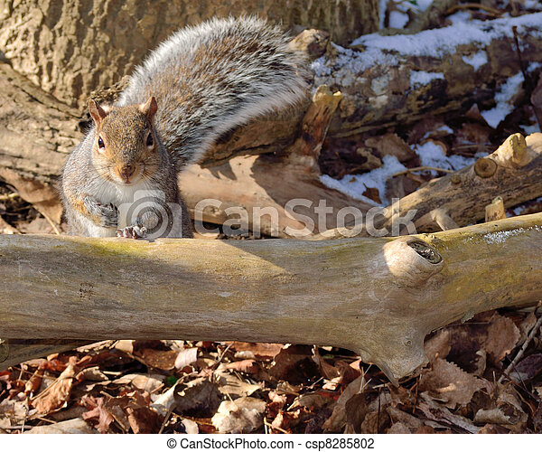 Gray Squirrel - csp8285802