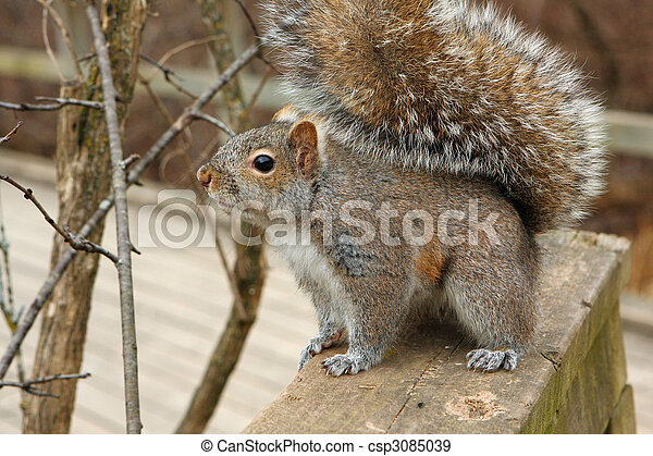 Gray Squirrel - csp3085039