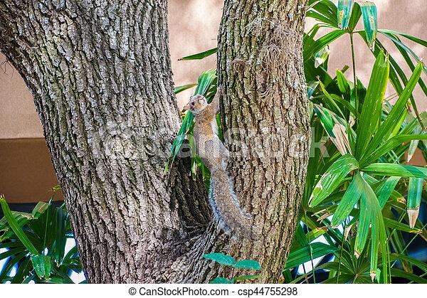 Gray Squirrel - csp44755298