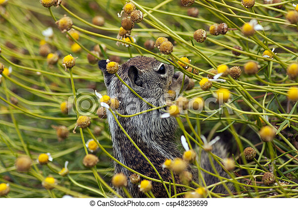 Gray squirrel - csp48239699