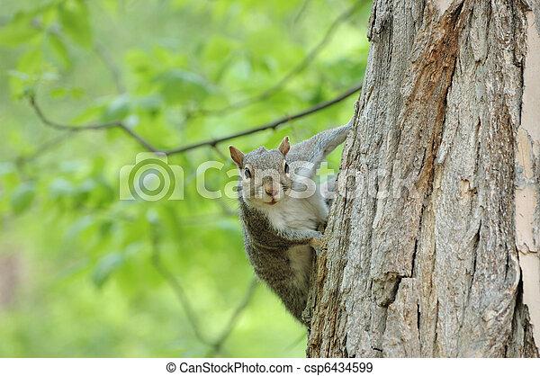 Gray Squirrel - csp6434599