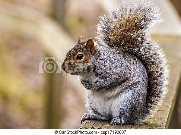 Gray Squirrel - csp17190607