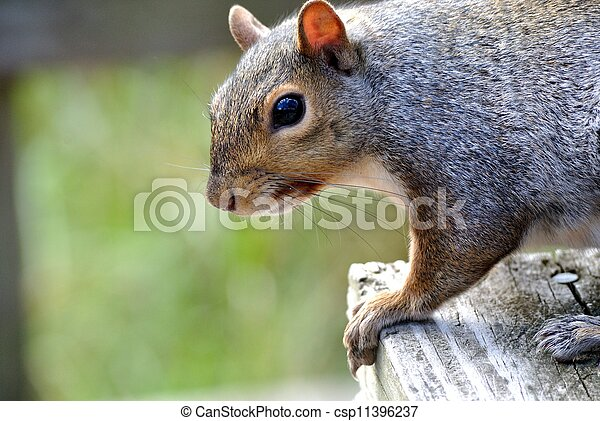 Gray Squirrel - csp11396237