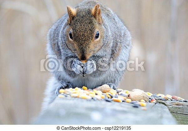 Gray Squirrel - csp12219135