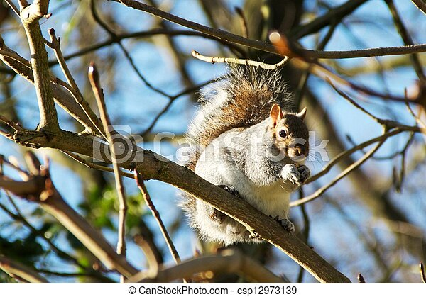 Gray Squirrel - csp12973139