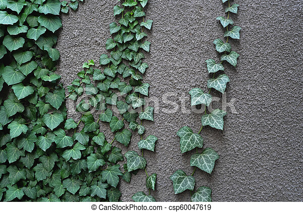 Gray wall with ivy - csp60047619