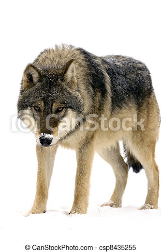 Gray wolf (Canis lupus) isolated - csp8435255