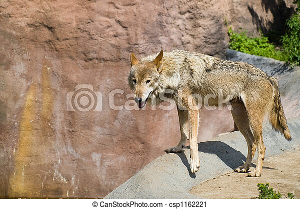 Gray Wolf (Canis lupus) - csp1162221