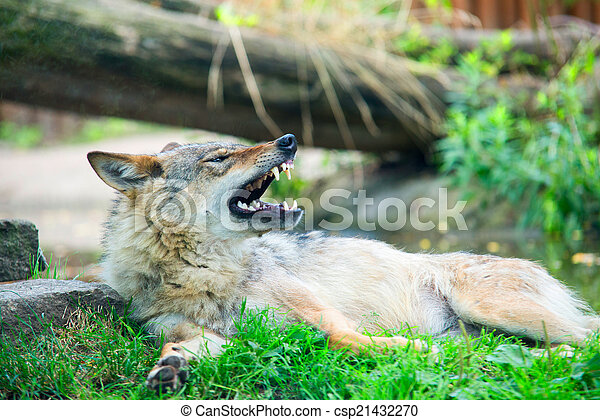 gray wolf (Canis lupus) - csp21432270