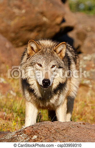 Gray wolf (Canis lupus) - csp33959310