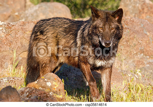Gray wolf (Canis lupus) - csp35614614