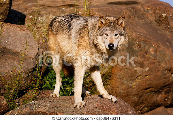 Gray wolf (Canis lupus) - csp36476311