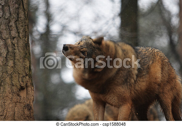 Gray Wolf Canis Lupus - csp1588048