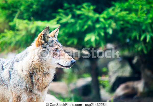 gray wolf (Canis lupus) - csp21432264