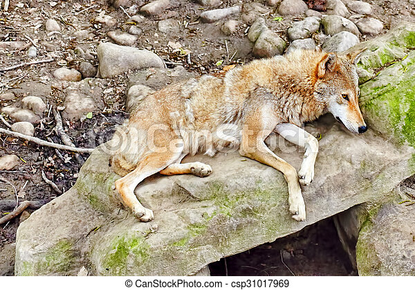 Gray wolf (canis lupus). - csp31017969