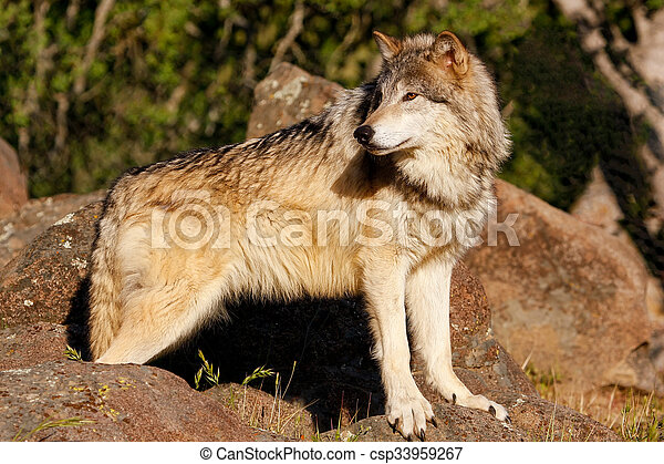 Gray wolf (Canis lupus) - csp33959267