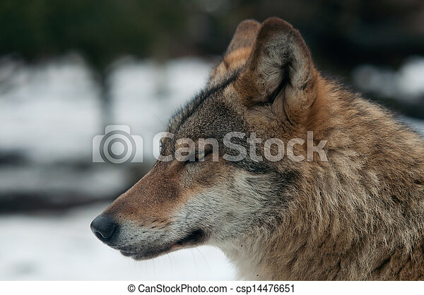 gray wolf (Canis lupus) - csp14476651