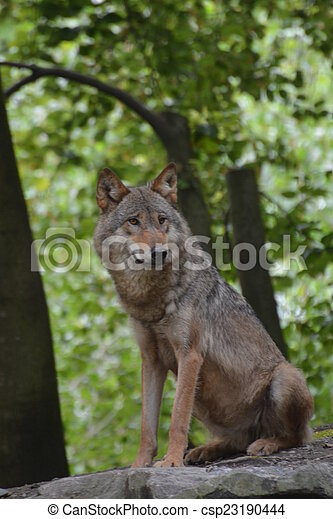 Gray Wolf / Canis Lupus - csp23190444