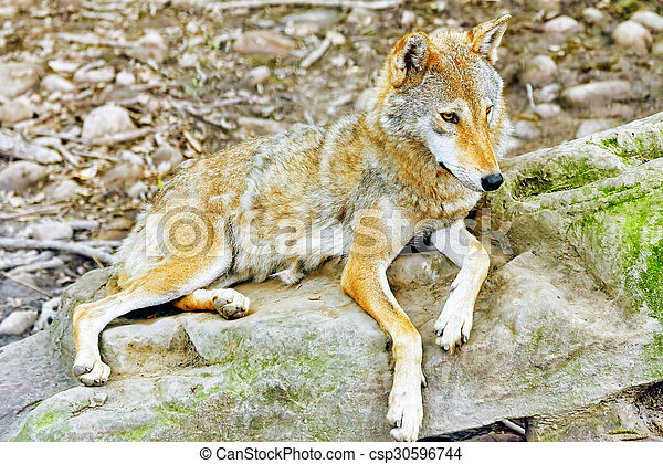 Gray wolf (canis lupus). - csp30596744