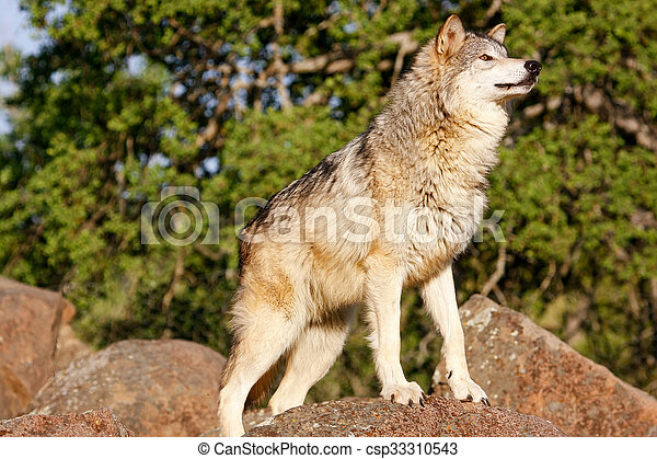 Gray wolf (Canis lupus) - csp33310543