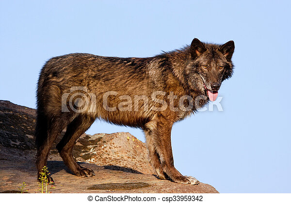 Gray wolf (Canis lupus) - csp33959342